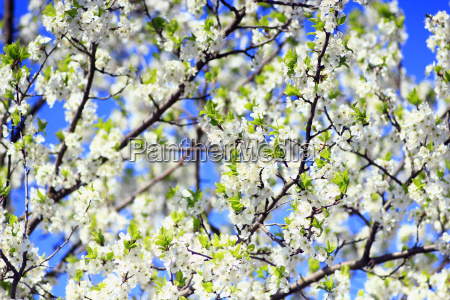 blossoming spring tree on background of