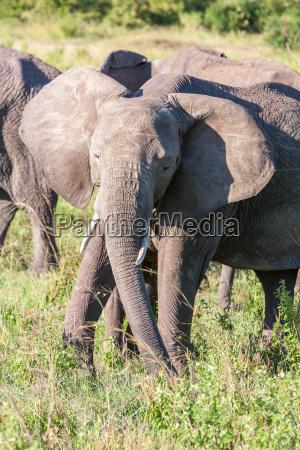 elefanten zu fuss in der savanne