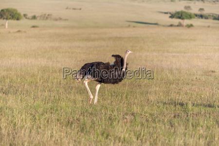 strauss zu fuss auf savanne in