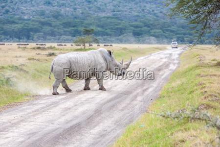 safari nashorn