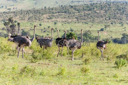 strausse die auf savanne in afrika
