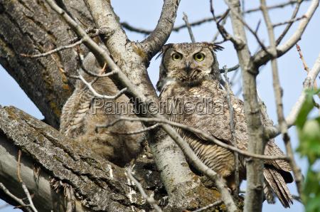 grosse horned owl macht direkten augenkontakt