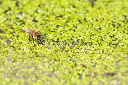 trinkende honigbiene auf kleinen wasserlinsen