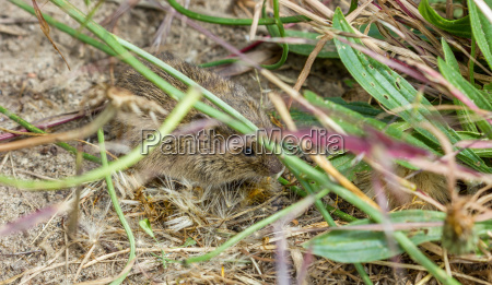 a field mouse eating a green