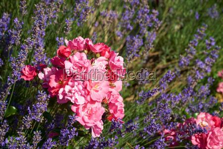 lavendel und rosen im sommergarten