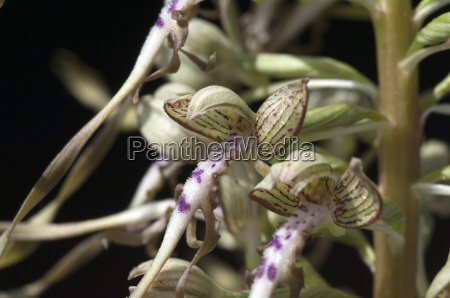 bocksriemenzunge himantoglossum hircinum orchidee