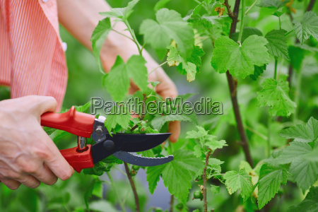 cutting blackcurrant branches