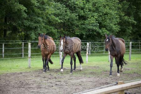 three holstein horses