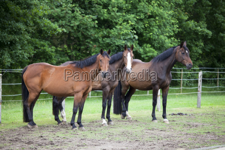 drei warmblut pferde auf weide