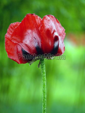 poppy 4