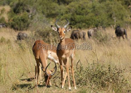 antelopes in botswana