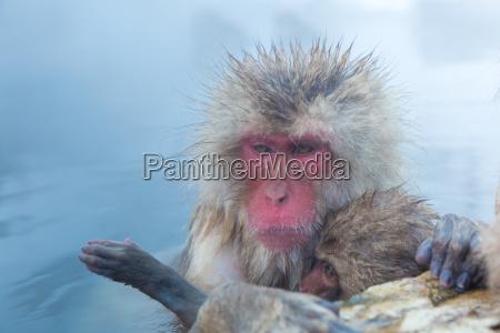 schnee affen makak onsen