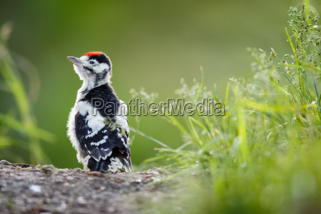 young great spotted woodpecker auf dem