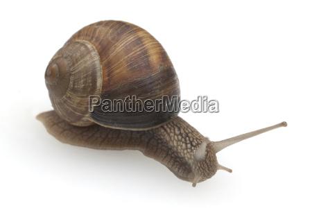 weinbergschnecke helix pomatia schnecke