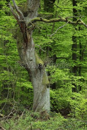 alte eichen im reinhardswald