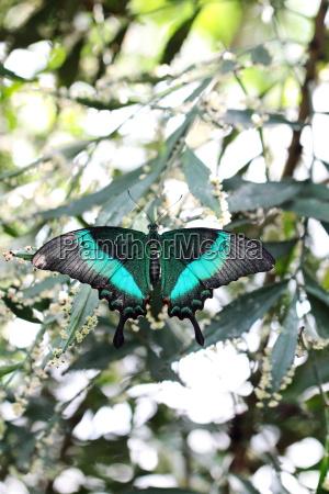 papilio palinurus ritterfalter schmetterlingshaus insel mainau