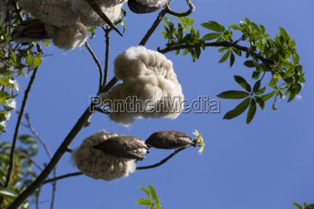 baumwollpflanze bereit fuer die ernte