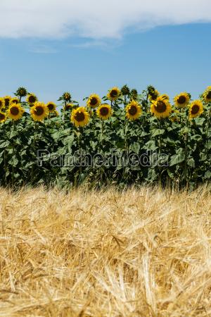 landwirtschaft mit sonnenblumen und getreide