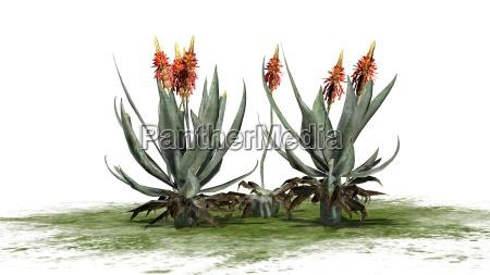 aloe vera plant separated on