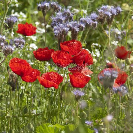 blumenwiese klatschmohn wiesenblumen