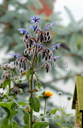 borage borago officinalis flowers and buds