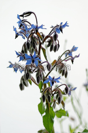 borretsch borago officinalis flowers and buds