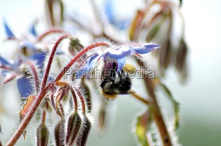 borage borago officinalis blossom and buds