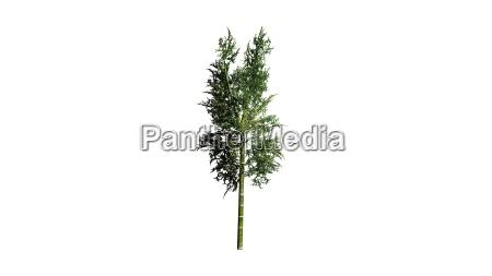 bambuspflanze auf weissem hintergrund