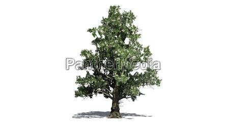 magnolienbaum mit blueten auf weissem hintergrund
