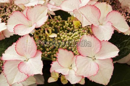 tellerhortensie hydrangea serrata love you kiss