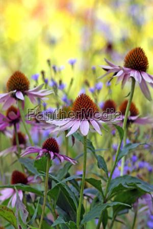 sun hats echinacea purpurea in the