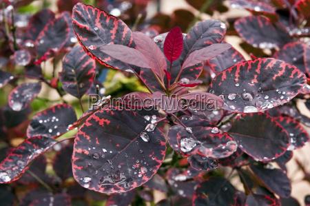 cotinus coggygria royal purple herbstfaerbung
