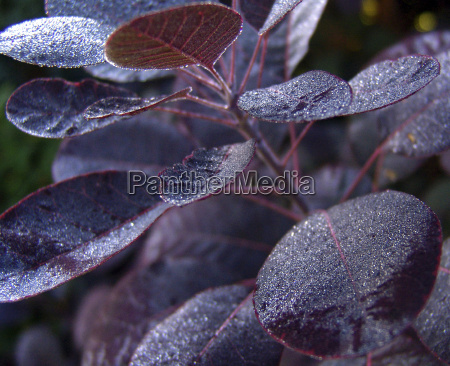 cotinus coggygria royal purple