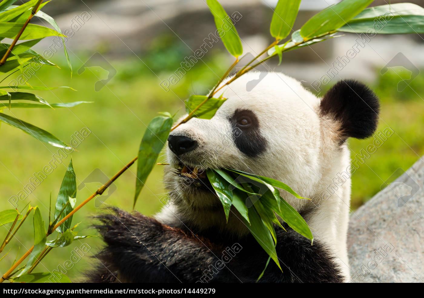 Hungriger Bar Des Riesigen Pandas Essen Bambus Lizenzfreies Bild
