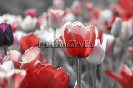 tulpen grau konzept