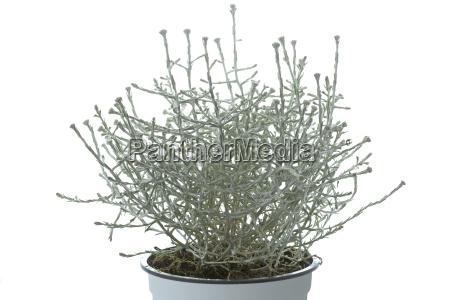 calocephalus brownii stacheldraht pflanze