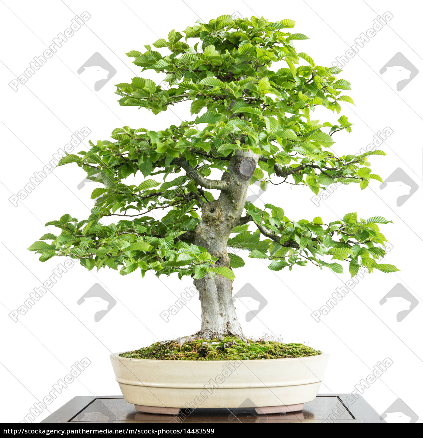alte hainbuche als bonsai baum lizenzfreies bild 14483599 bildagentur panthermedia. Black Bedroom Furniture Sets. Home Design Ideas