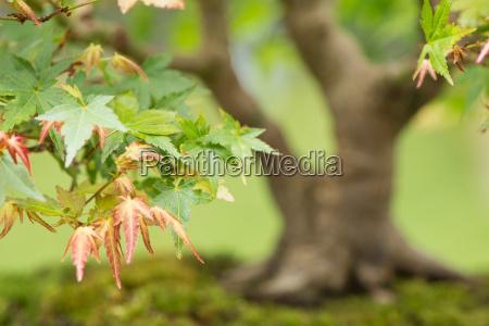 nahaufnahme bonsai ahorn baum