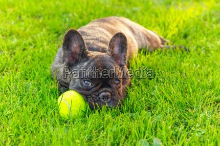 nette haushunde gestromt franzoesisch bulldog rasse