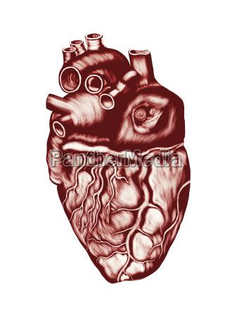menschliches herz anatomie kammern ventile und
