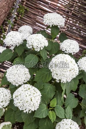 blooming bauernhortensie hydrangea