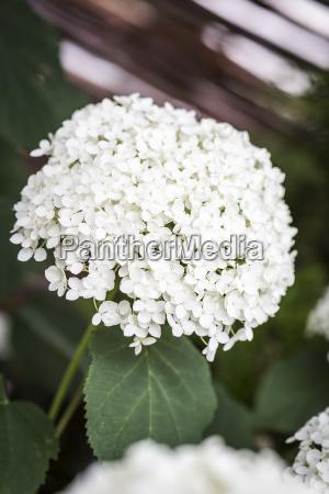 flowering farmer hydrangea hydrangea