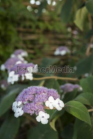 flowering samthortensie hydrangea sargentiana