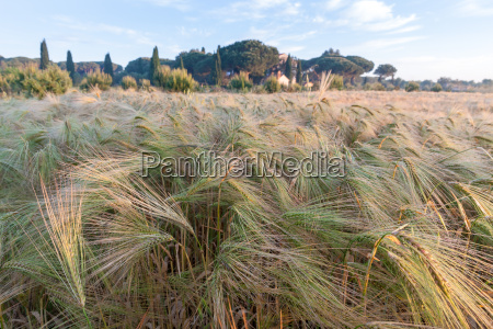 young wheat growing in green farm