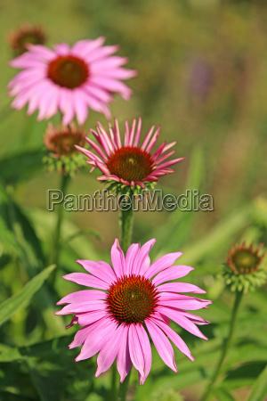 purple sun hat echinacea purpurea