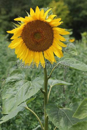 single sunflower on sunflower field