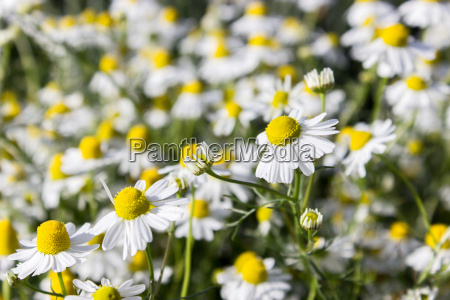 many camomile flowers on the field