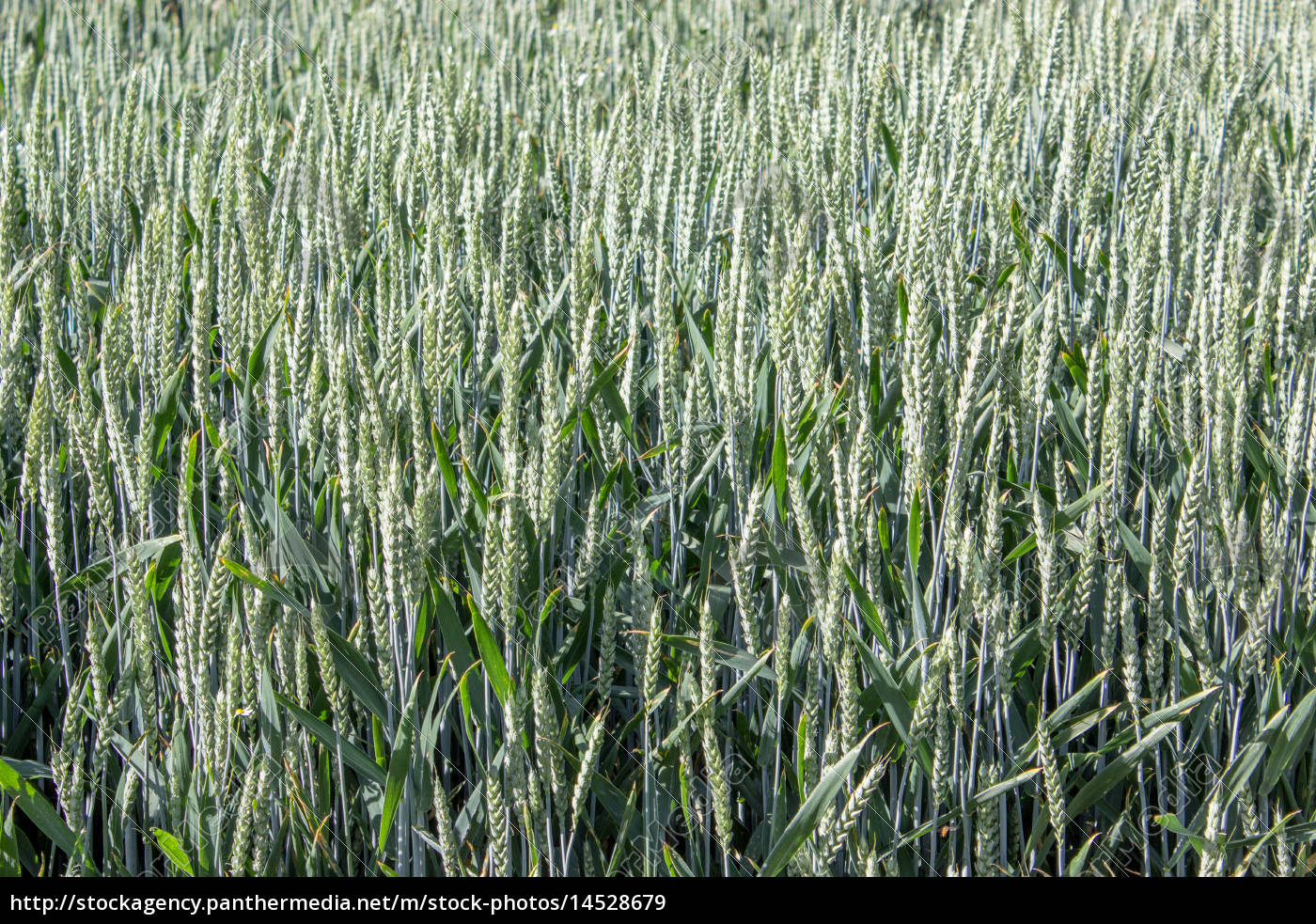 field, with, green, wheat, - 14528679
