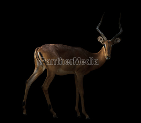 male impala in the dark