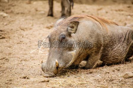 warzenschwein phacochoerus africanus in nahaufnahme